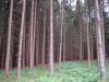 Picea op stam